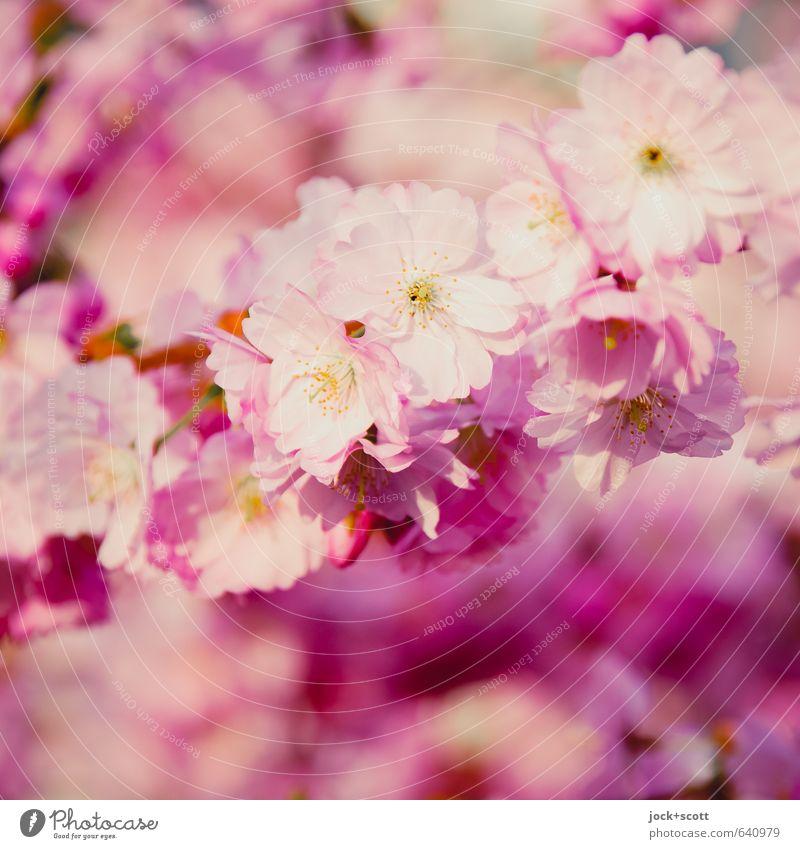 Hanami (Blüten betrachten) harmonisch Sinnesorgane Frühling exotisch Kirschblüten Japan Blühend ästhetisch Duft frisch schön Kitsch natürlich weich rosa
