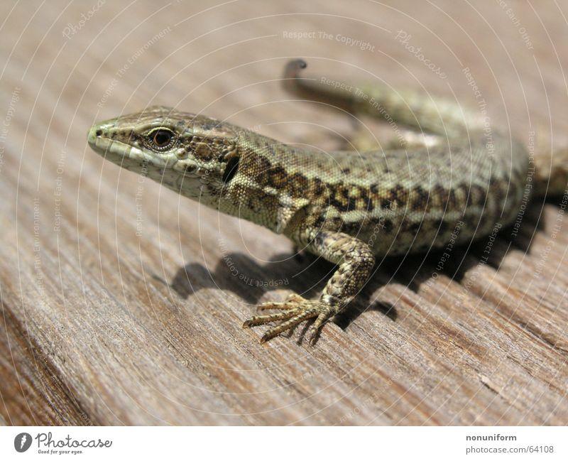 Poikilothermer nach Lebensrettung Tier Holz Frankreich Reptil Echsen Echte Eidechsen