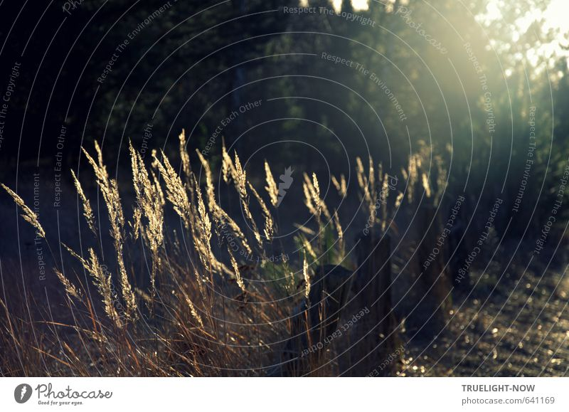Lichtspiel Natur Pflanze Sonnenaufgang Sonnenuntergang Sonnenlicht Schönes Wetter Gras Wald einfach braun gold grün schwarz Stimmung Romantik schön friedlich