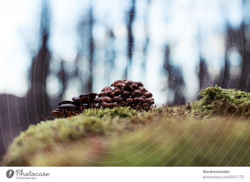 Gruppenkuscheln Natur Pflanze Erde Moos Wald Baumstumpf Pilz Baumpilz mehrere Büschel Waldboden ökologisch Farbfoto Menschenleer Textfreiraum oben Gegenlicht