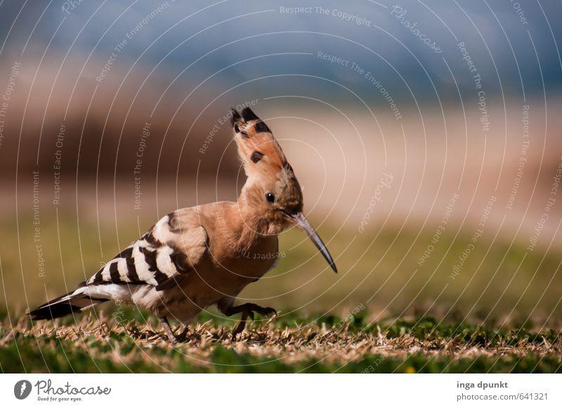 Wo ist der Wurm? Natur Tier Umwelt Wiese Vogel Wildtier Suche entdecken Umweltschutz Schnabel Israel Nahrungssuche stolzieren Artenschutz Rackenvögel Wiedehopf