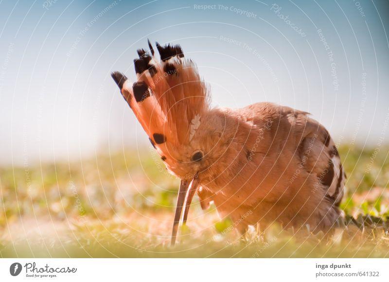 Wo ist der nächste Wurm? Natur Tier Umwelt Essen Vogel Feder Suche Fressen Umweltschutz Schnabel Naturschutzgebiet Artenschutz Rackenvögel Wiedehopf picken