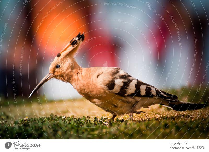 Wiedehopf Natur Landschaft Tier Umwelt Wiese Garten Vogel Park Wildtier Flügel Metallfeder Umweltschutz Schnabel Rackenvögel Wiedehopf picken