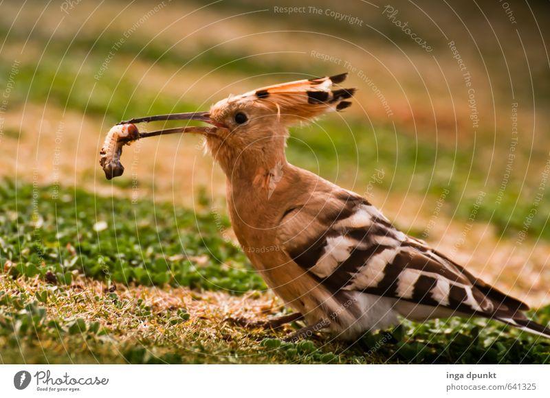 Mahlzeit! Natur Landschaft Tier Umwelt Lebensmittel Vogel fangen Zoo Fressen füttern Wurm Rackenvögel Wiedehopf