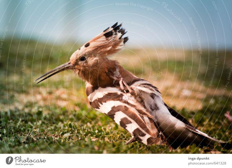 Gefiederpflege Umwelt Natur Tier Wildtier Vogel Flügel Wiedehopf Rackenvögel 1 Umweltschutz Feder Reinigen Schnabel Lebewesen Farbfoto Außenaufnahme
