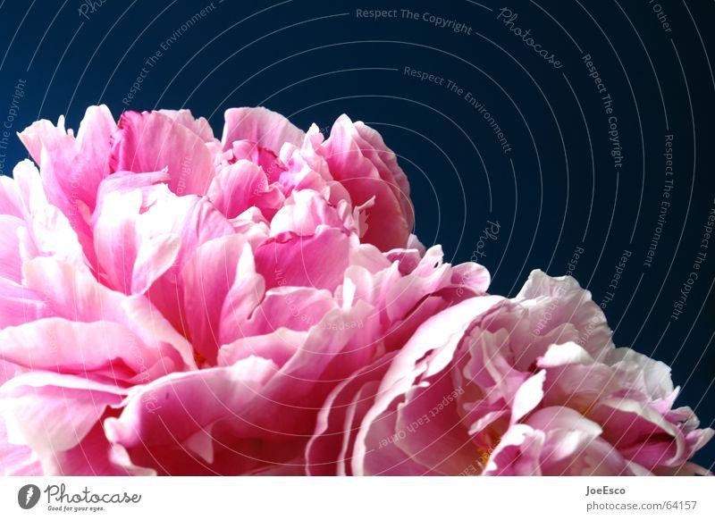 fresh flower 1 Natur schön Blume blau Pflanze Sommer Freude springen Stil Blüte Frühling rosa frisch Rose Lebensfreude Idylle