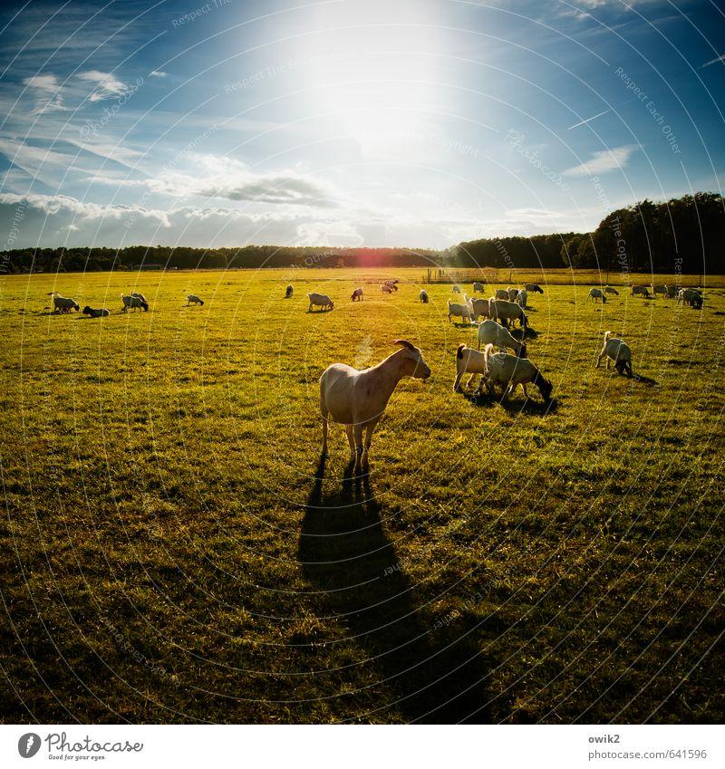 Ziegfried Umwelt Natur Landschaft Pflanze Tier Himmel Wolken Horizont Klima Wetter Schönes Wetter Gras Wiese Wald Gehege Weide Nutztier Ziegen Geißbock Herde