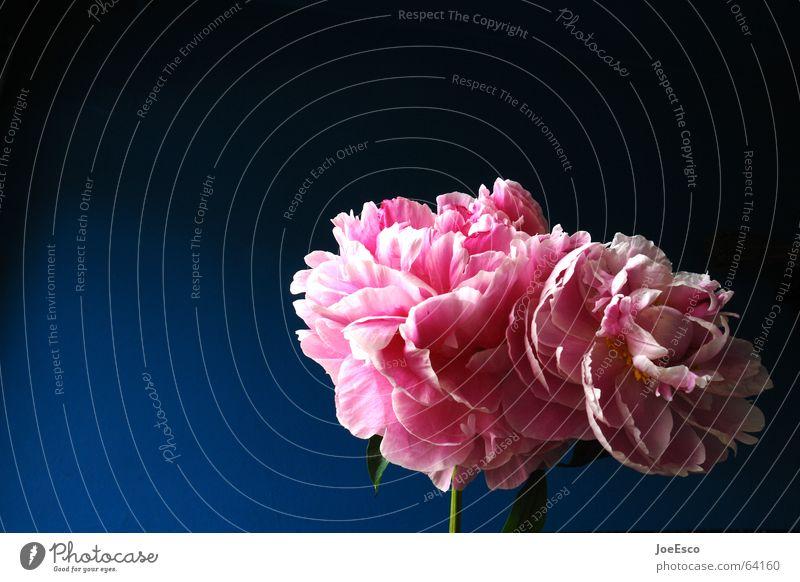 fresh flower 2 Natur blau schön Pflanze Sommer Blume Frühling Blüte Stil rosa frisch ästhetisch Coolness Rose Freundlichkeit exotisch