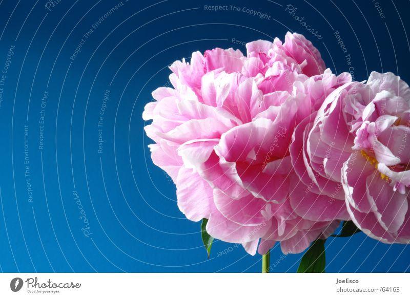 fresh flower 3 Natur schön Blume blau Pflanze Sommer springen Stil Blüte Frühling rosa frisch Rose ästhetisch Coolness exotisch