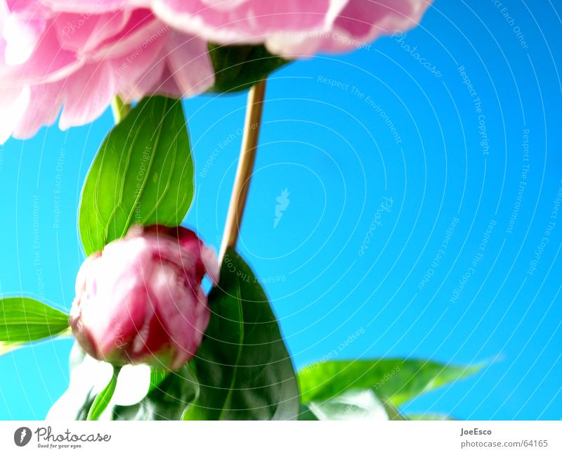 fresh flower 4 Natur Blume blau Pflanze Sommer springen Stil Blüte Frühling rosa frisch Rose Coolness Verlauf Floristik Pfingstrose