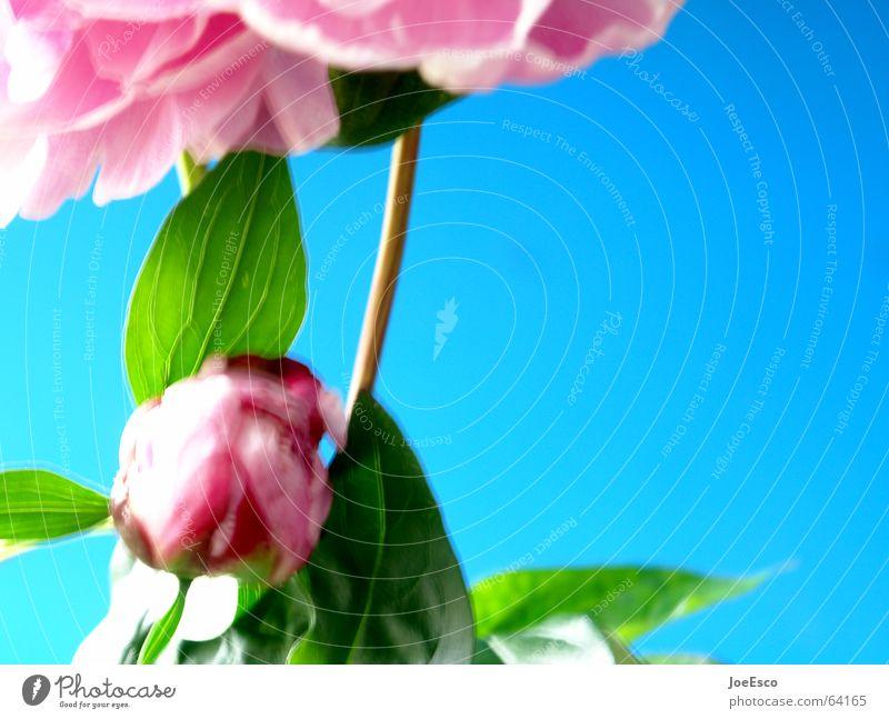 fresh flower 4 Stil Sommer Natur Frühling Blume Rose Blüte springen Coolness frisch blau rosa Verlauf Pfingstrose Unschärfe Pflanze Kontrast Floristik