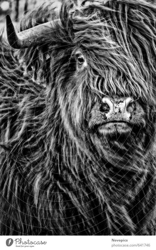 Highland Cattle Natur Tier Fell Haustier Nutztier Kuh 1 schwarz weiß Portrait reales Leben Schottische Hochlandrind Schottisches Hochlandrind gaelisches Rind