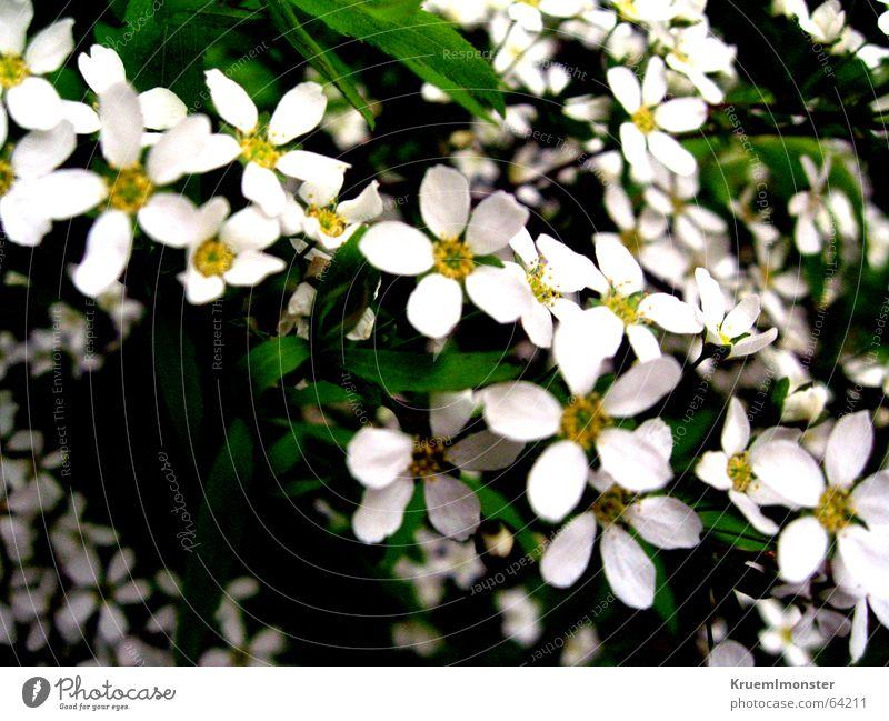 Sommer_01 schön weiß Blume Blüte Frühling