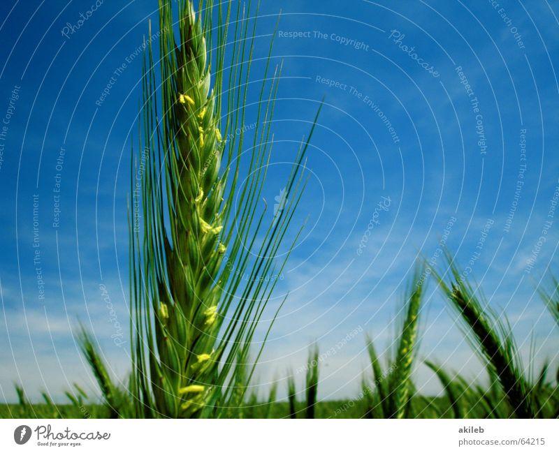 Roggen Himmel grün blau Sommer gelb Feld Erfolg Getreide Korn erste