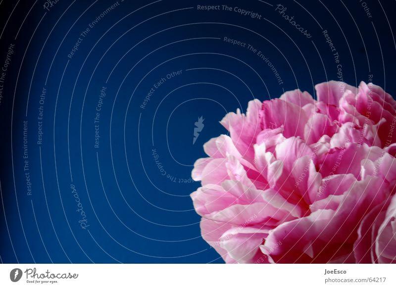 fresh flower 5 Blume Blüte rosa Verlauf frisch Stil Frühling springen Sommer Natur Pfingstrose Rose bloom florescence blau blue freshly Coolness cleen Kontrast