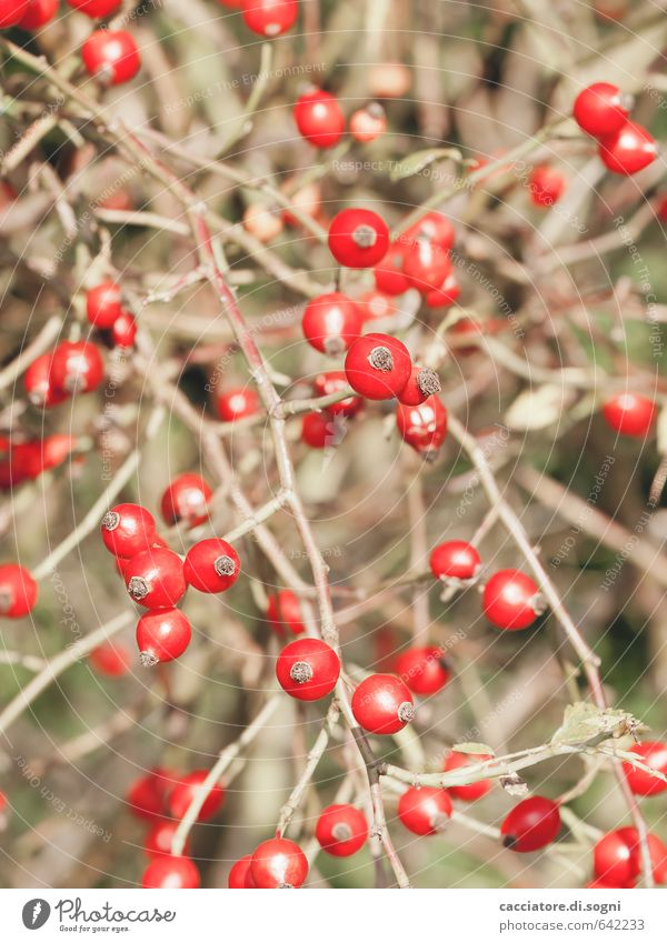 Rote Punkte Natur Pflanze Farbe rot Herbst natürlich klein Zusammensein glänzend Design Kraft Sträucher verrückt Lebensfreude einzigartig Schönes Wetter