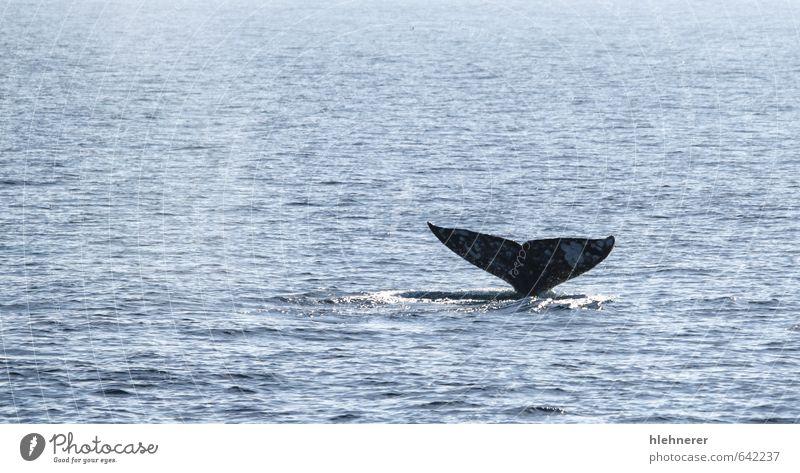 Natur schön Meer Tier grau Körper offen wild groß beobachten Lebewesen tauchen tief Säugetier Oberfläche Mexiko