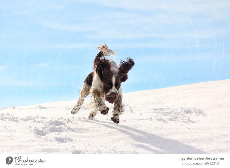 endlich Schnee! Hund blau weiß Freude Tier Winter Berge u. Gebirge Schnee Bewegung springen braun Fröhlichkeit Ausflug Lebensfreude Fell Jagd