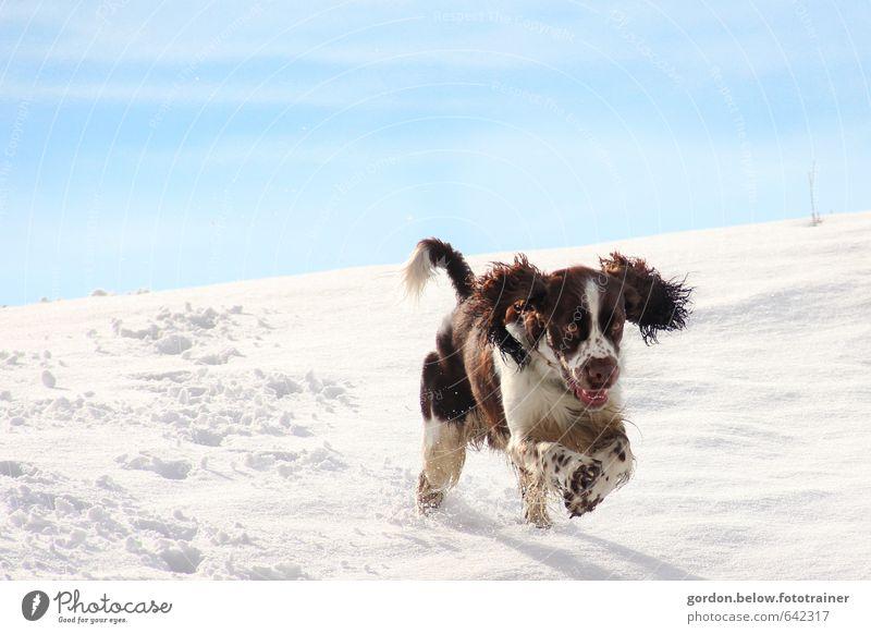 Schneehund Schönes Wetter Eis Frost Berge u. Gebirge Tier Haustier Hund 1 Jagd rennen Spielen springen Geschwindigkeit stark blau braun weiß Freude Lebensfreude