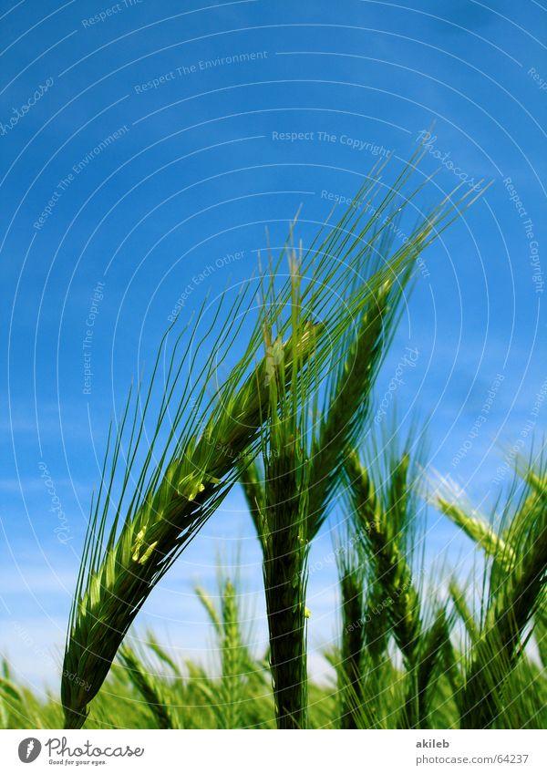 Roggen Himmel grün blau Sommer gelb Feld Getreide Korn anlehnen Zuneigung abstützen
