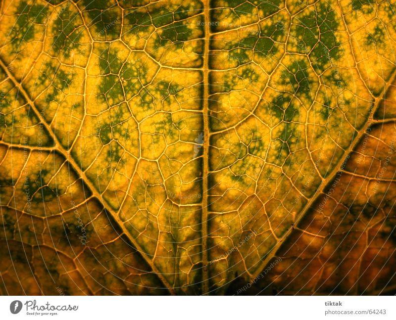 Labyrinth der Zucchini 1 Blatt Gefäße Blattunterseite Botanik Pflanze grün gelb braun Blattadern Licht Beleuchtung welk Blattgrün Wachstum Versorgung Physik