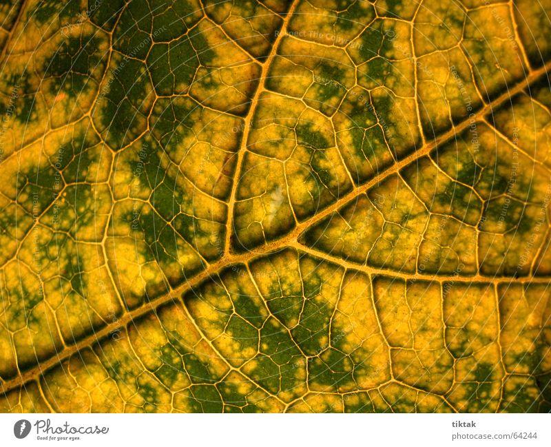 Labyrinth der Zucchini 2 Blatt Gefäße Blattunterseite Botanik Pflanze grün gelb braun Blattadern Licht Beleuchtung welk Blattgrün Wachstum Versorgung Physik