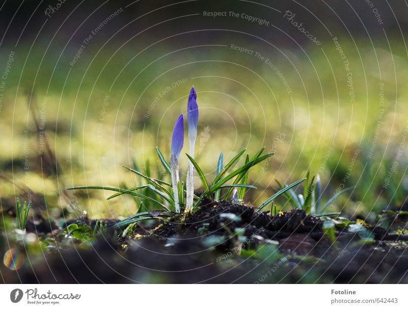 Der Frühling kommt!! Umwelt Natur Pflanze Urelemente Erde Blume Blatt Blüte Garten Park Wiese hell Krokusse Frühblüher Farbfoto mehrfarbig Außenaufnahme