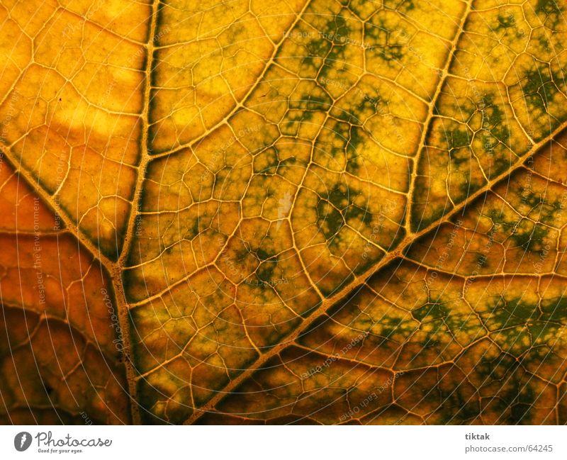 Labyrinth der Zucchini 3 Natur grün Pflanze Blatt gelb Wärme Linie braun Beleuchtung Wachstum Physik Botanik Gefäße Blattadern Versorgung welk