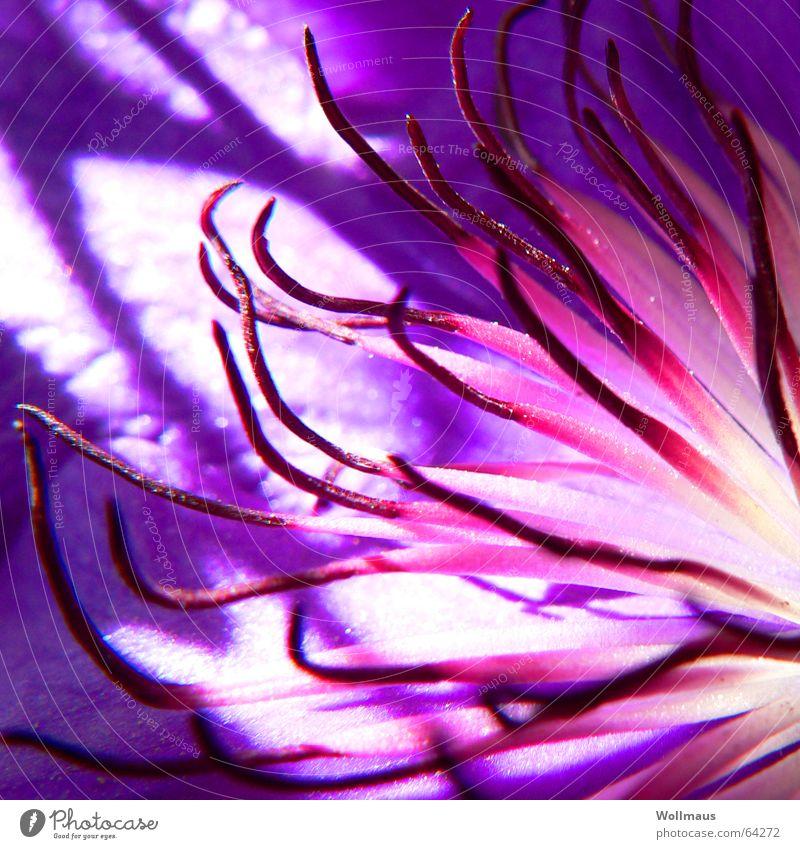 Sonne für alle! Blume Blüte Pflanze Blütenblatt Pollen Licht Sommer violett rosa Wachstum Botanik Waldrebe Schatten Beleuchtung Natur Garten