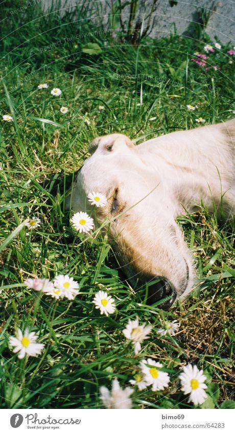 ich träume ich wär ein gänseblümchen Natur weiß grün Blume Ferien & Urlaub & Reisen ruhig Tier Erholung Wiese Graffiti Sand Hund träumen Zufriedenheit schlafen Frieden