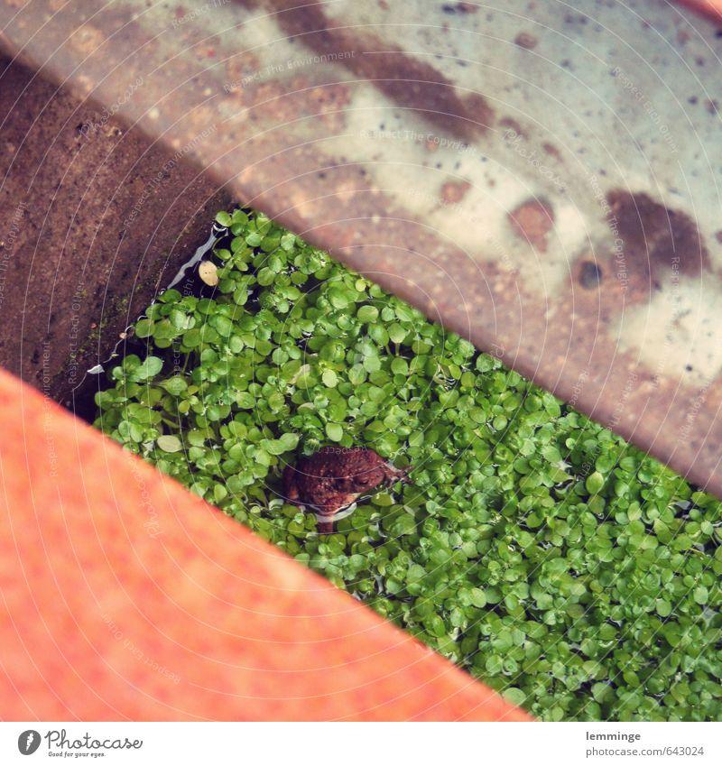 froschperspektive Umwelt Natur Wasser Tier Frosch 1 weich braun grau grün Froschkönig Wasserpflanze Stahl Loch Farbfoto Außenaufnahme Nahaufnahme Menschenleer