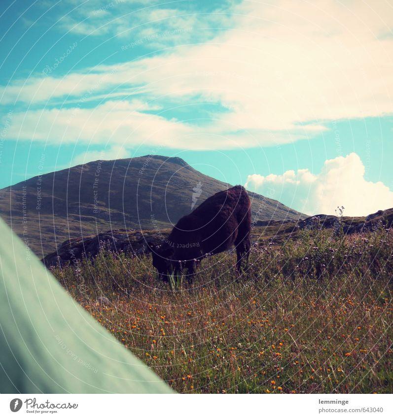 morgenstund Umwelt Natur Landschaft Himmel Gras Tier Nutztier Wildtier Kuh 1 achtsam Zelt Zelteingang Schottland Berge u. Gebirge wandern Fressen Farbfoto