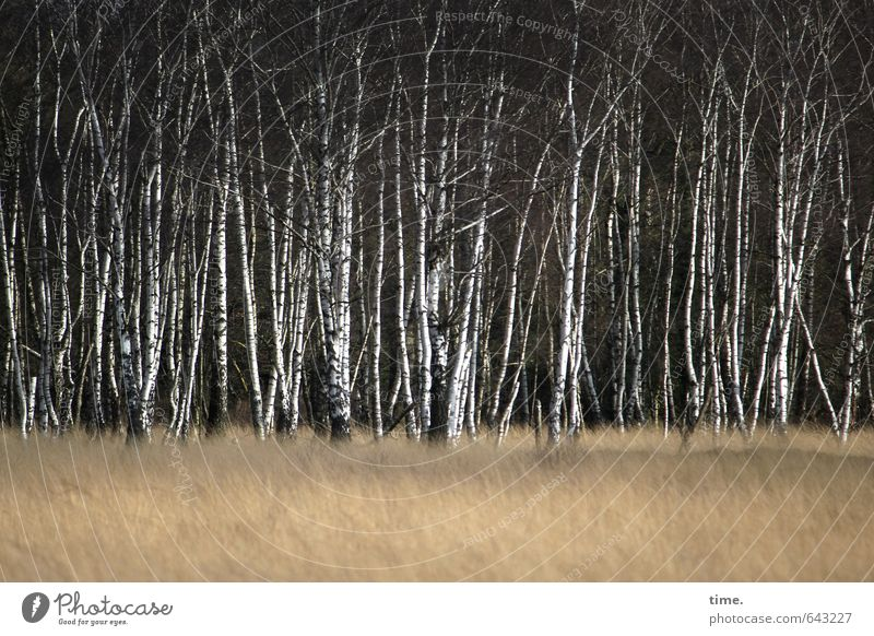 Birkenherde Natur Pflanze Baum Landschaft Wald Umwelt Gras elegant Ordnung Wachstum stehen Erfolg Kommunizieren dünn Vertrauen Gelassenheit