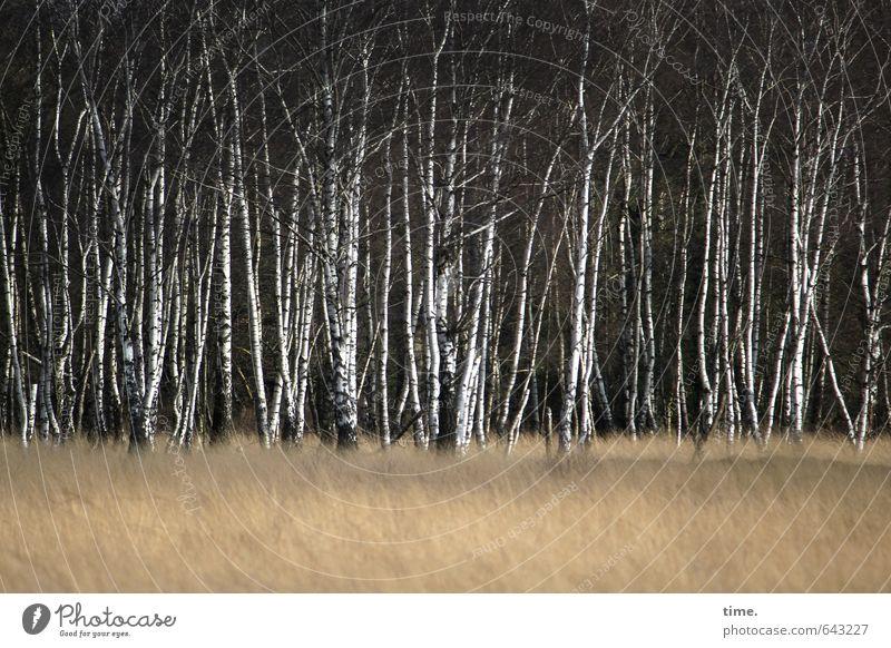 Birkenherde Umwelt Natur Landschaft Pflanze Baum Gras Wald Waldrand Birkenwald Feuchtgebiete Moor Moorbirke stehen Erfolg dünn elegant Gelassenheit Inspiration