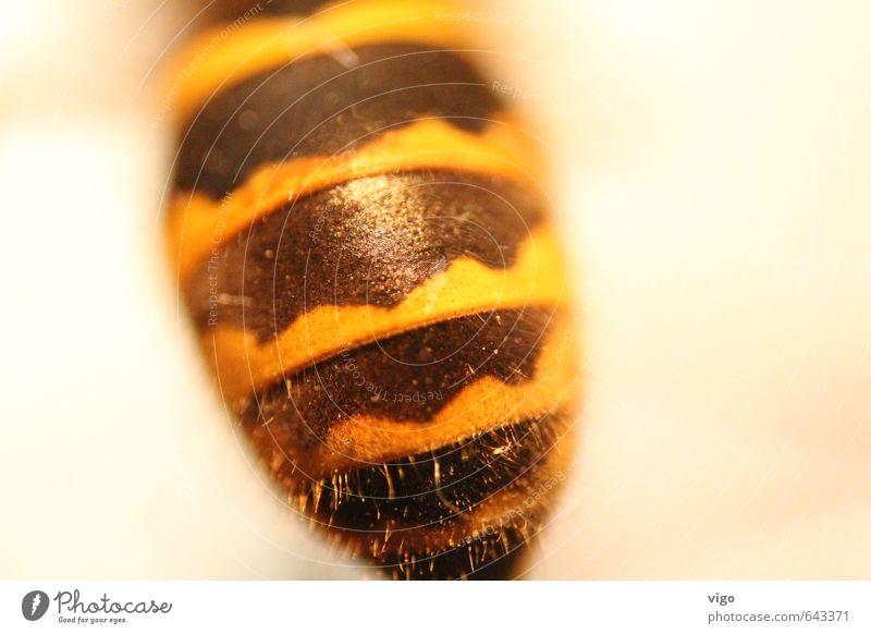 BVB-Tier Wildtier Totes Tier Wespen 1 gelb schwarz Farbfoto mehrfarbig Innenaufnahme Detailaufnahme Makroaufnahme Muster Menschenleer Textfreiraum rechts
