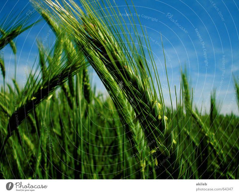 Der Sommer ist da. Feld Roggen gelb grün ruhig Landwirtschaft Erholung Himmel Getreide Korn blau enstspannung Wind Wetter sky