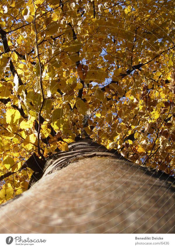 Herbstlich Baum Blatt gelb Jahreszeiten Baumstamm Ast Natur