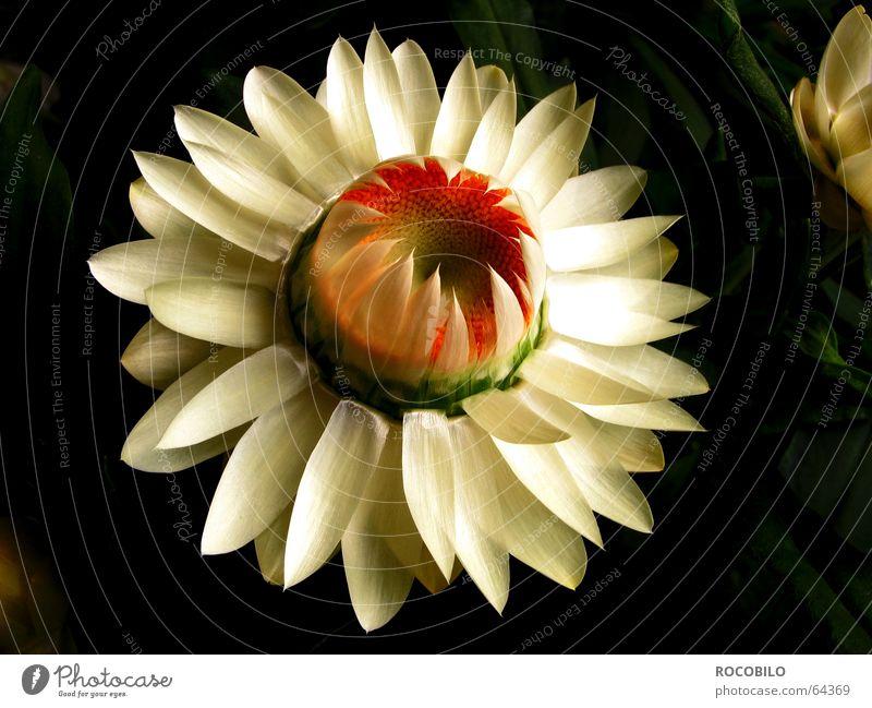 Blümchen Natur weiß rot Pflanze Blume schwarz gelb Leben Beginn Hummel