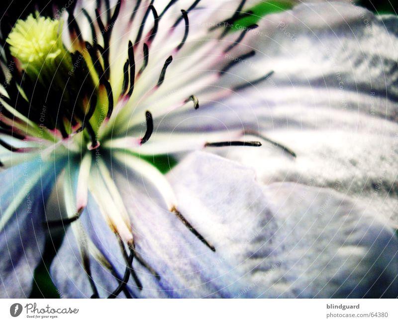 Künstliche Befruchtung ... weiß Blume Blüte Garten zart Kennwort