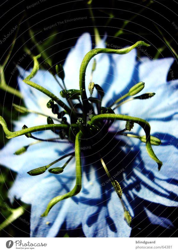 Medusa Blume grün blau Blüte Tentakel hell-blau