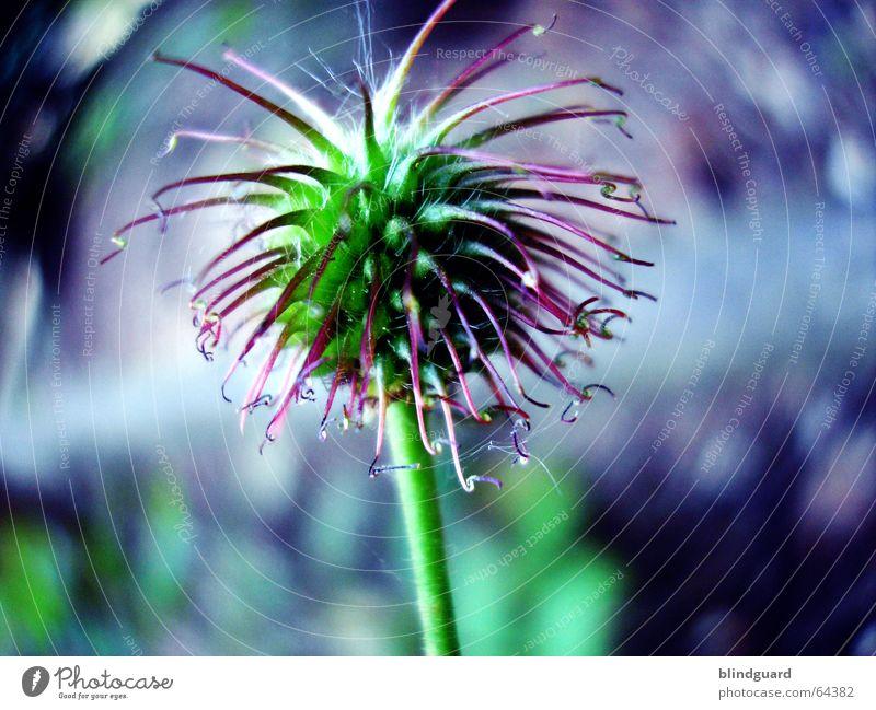 Enterhaken Große Klette Pflanze Blüte festhängen Widerhaken grün violett Frühling Sommer mehrfarbig Haken Klettverschluss Erfindung Wachstum Makroaufnahme