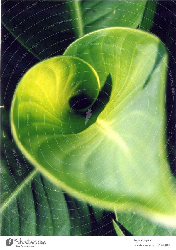 herzblatt in grün Pflanze ruhig Blatt Farbe Erholung Zufriedenheit Motivation Bambusrohr