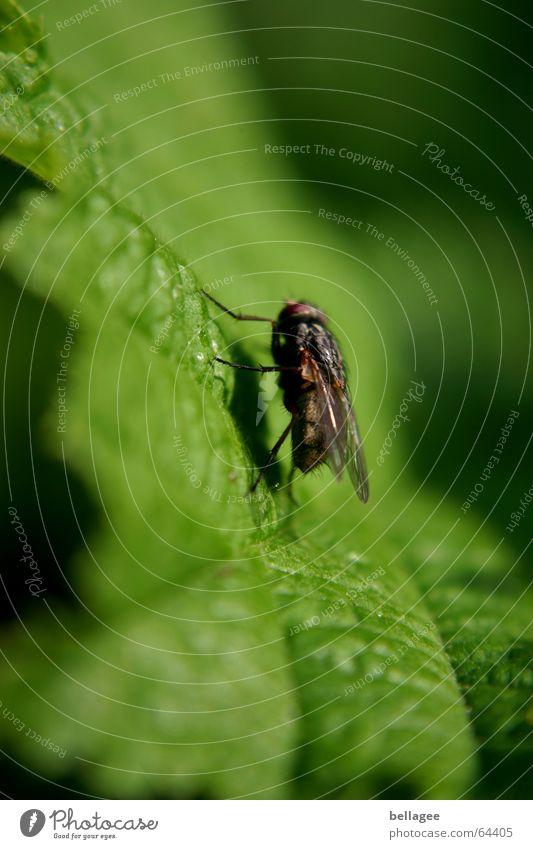 wenn fliegen über fliegen fliegen... Blatt Insekt grün schwarz steil Natur Fliege Strukturen & Formen nahaufnahem steil vorlage Außenaufnahme