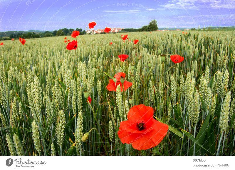 rote Flecken in der Landschaft Blume Feld Weizen Sommer Mohn Pflanze Landwirtschaft Dorf Himmel Natur Kontrast