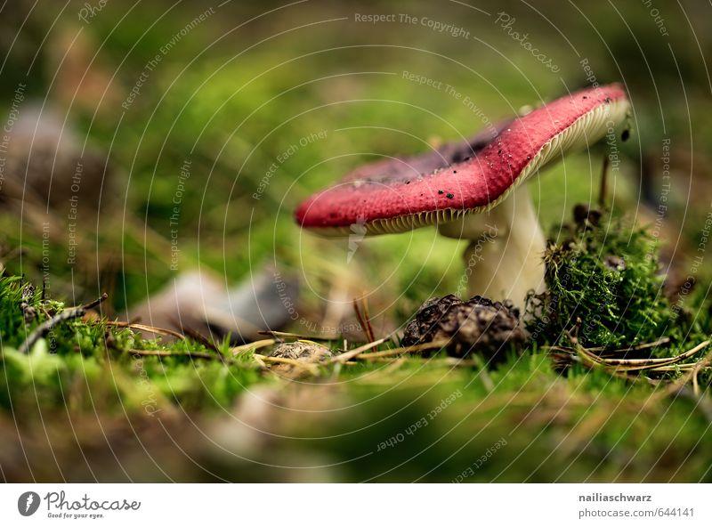 Pilz Natur schön grün Pflanze rot Wald Umwelt Wärme Herbst natürlich Stimmung Lebensmittel Kraft Wachstum weich lecker