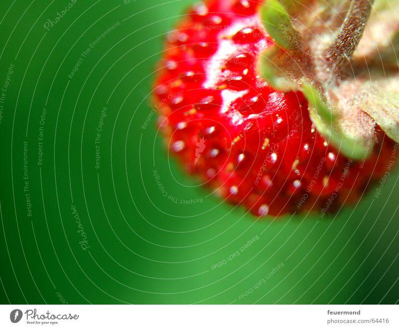Wildes Früchtchen Sonne rot Sommer Frucht Erdbeeren fruchtig Wald-Erdbeere