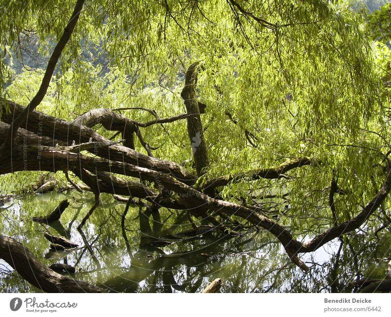 Grünzeug Wasser Baum grün See Park Ast Baumstamm