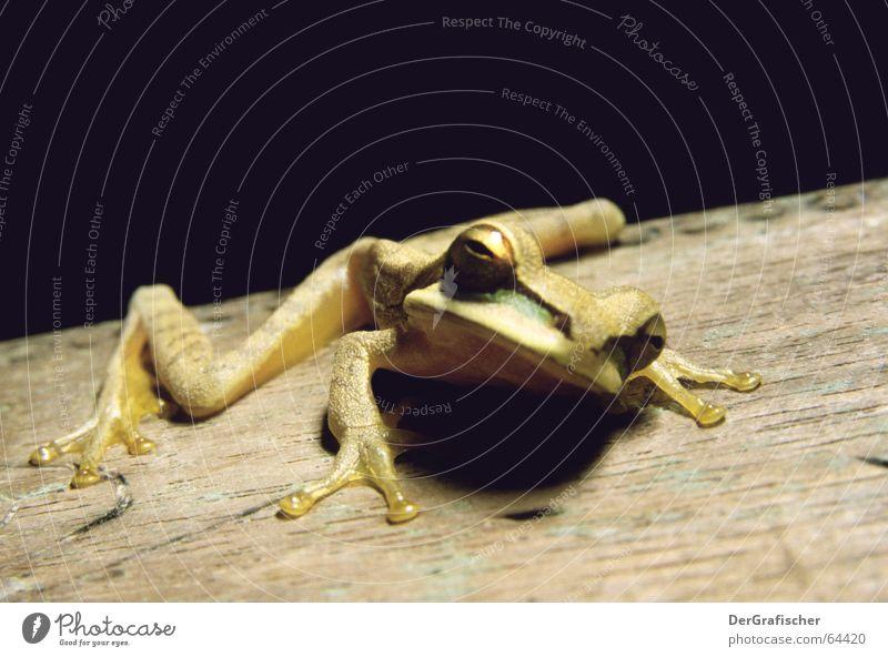Aufgewecktes Amphibium Froschkönig Aggression provokant kleben Lurch Tier springen bereit trist skeptisch Wachsamkeit wach bewegungslos flach Finger