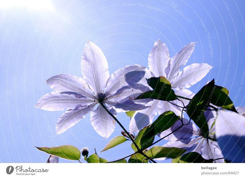 blümchen gen himmel Blume Baum Außenaufnahme Gegenlicht grün Blatt Blüte Blütenblatt Mittag Pflanze violett Natur blau Himmel Sonne Waldrebe