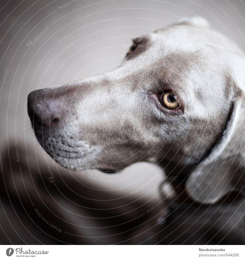 Tia Hund Tier Leben Freundschaft ästhetisch beobachten Freundlichkeit Vertrauen Geborgenheit friedlich Ehrlichkeit Tierliebe Weimaraner Jagdhund Hundeblick